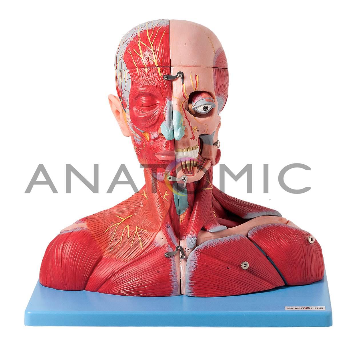 Cabeça E Pescoço Muscular Com Vasos Nervos E Cérebro Em