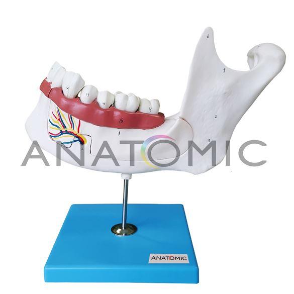 Anatomia do Dente e Mandíbula Inferior de um Jovem (18 anos), em 6 Partes