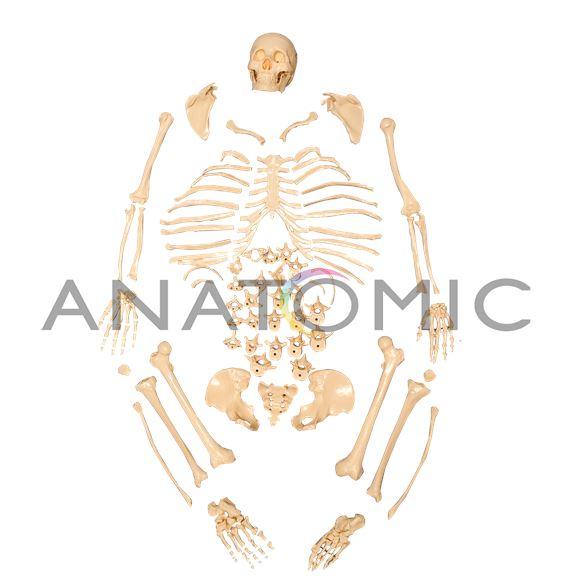 Esqueleto Padrão, Tamanho Natural, Desarticulado