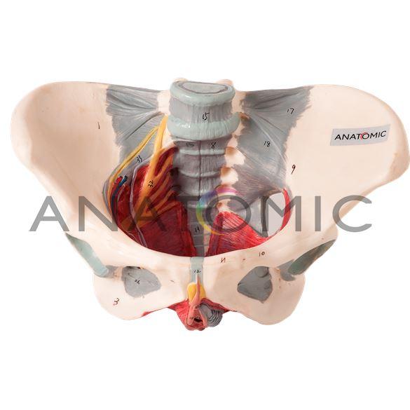 Esqueleto Pélvico Feminino com Nervos e Ligamentos
