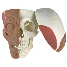 Crânio com Músculos Faciais - TGD-0102-MF