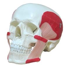 Crânio com Músculos da Mastigação - TGD-0102-MT