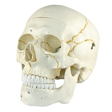 Crânio Numerado, em 2 Partes - TGD-0102-N