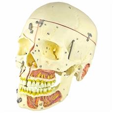 Crânio com Vasos Sanguíneos e Nervos, Numerado, em 10 Partes - TGD-0102-P