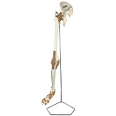 Esqueleto do Membro Inferior com Articulações - TGD-0158-A