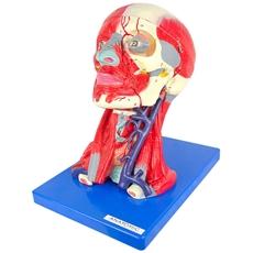 Cabeça, Cérebro e Musculatura, em 10 Partes - TGD-0300-A
