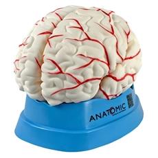 Cérebro com Artérias em 8 Partes - TGD-0303