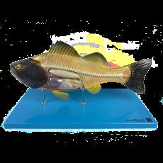 Anatomia do Peixe - TGD-0604