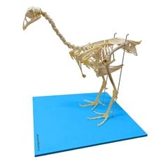 Esqueleto da Galinha, em Tamanho Natural - TGD-0606-G
