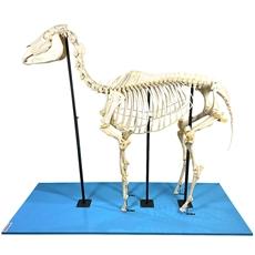 Esqueleto de Cavalo, em Tamanho Natural - TGD-0608-C