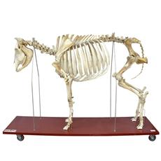 Esqueleto da Vaca em Tamanho Natural - TGD-0609-V