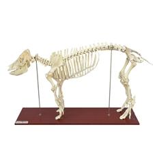 Esqueleto do Porco em Tamanho Natural - TGD-0610-P