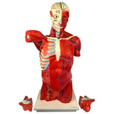 Torso Muscular 108 cm, Bissexual/Assexuado, com Órgãos Internos, em 27 Partes - TGD-4016