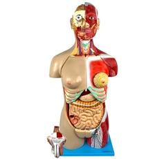 Torso Muscular, Bissexual, de 85 cm e 30 partes. - TGD-4040
