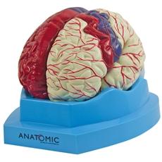 Cérebro com regiões Neuro-Funcionais, em 8 Partes - TZJ-0303-N