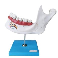 Anatomia do Dente e Mandíbula Inferior de um Jovem (18 anos), em 6 Partes - TZJ-0313