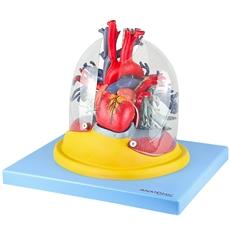 Pulmão Transparente com Arvore Brônquica, Traqueia, Coração e Mediastino - TZJ-0319-C