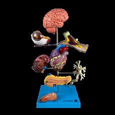 Principais Órgãos Acometidos pela Diabetes, em 11 partes - TGD-0329-FL