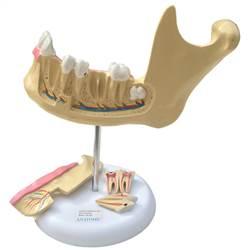 Anatomia do Dente em 6 Partes - TGD-0313