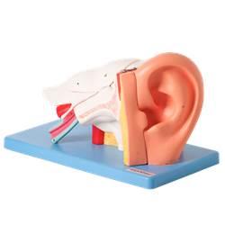 Ouvido Ampliado e Numerado, em 6 Partes - TZJ-0309-A
