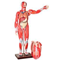 Manequim Muscular de 170cm, Assexuado, com Órgãos Internos, em 30 Partes - TZJ-4000-A