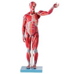 Manequim Muscular de 78 cm,  Assexuado, com Órgãos Internos, em 27 Partes - TZJ-4000-B